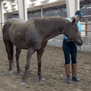 Julie with horse on the ground with neck rope.