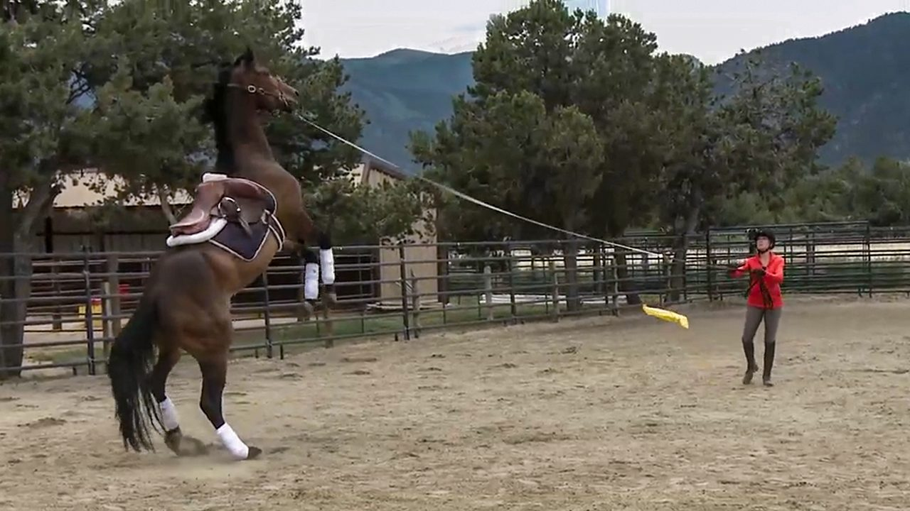 Horse rearing on the lunge line