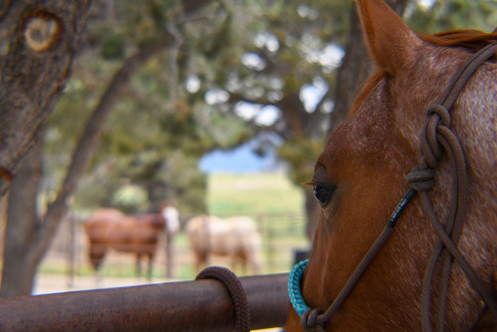 Pepper watching pasture horses in the background